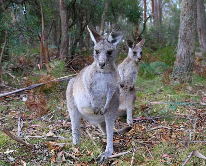 Kangaroo on the Six Foot Track